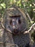 Baboon ελιών, anubis Papio, ζωές στους καταρράκτες Awash, Αιθιοπία στοκ εικόνα