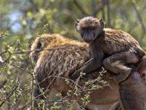 Baboon ελιών, anubis Papio, ζωές στους καταρράκτες Awash, Αιθιοπία στοκ φωτογραφία με δικαίωμα ελεύθερης χρήσης