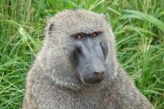 Baboon ελιών ή baboon Anubis πορτρέτο στην Ουγκάντα Στοκ Εικόνα
