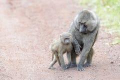 Baboon ελιών με το μωρό Στοκ Φωτογραφίες