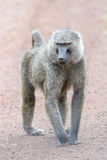 Baboon ελιών που περπατά στο έδαφος Στοκ Εικόνες