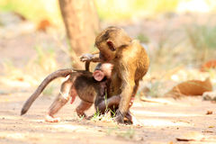 Baboon ελιών Στοκ εικόνες με δικαίωμα ελεύθερης χρήσης