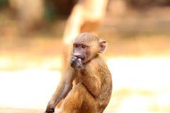 Baboon ελιών Στοκ Φωτογραφία