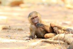 Baboon ελιών Στοκ φωτογραφίες με δικαίωμα ελεύθερης χρήσης