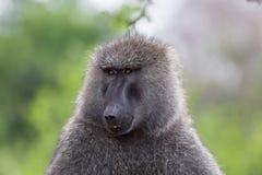 Baboon ελιών, Baboon απότομος βράχος, λίμνη Nakuru, Κένυα Στοκ Εικόνες