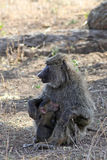 Baboon θηλυκό με cub Στοκ φωτογραφίες με δικαίωμα ελεύθερης χρήσης