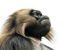 Baboon ΙΙ Gelada Στοκ Εικόνες