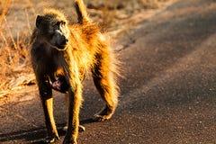 Baboon και cub Στοκ φωτογραφίες με δικαίωμα ελεύθερης χρήσης