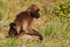 Baboon και cub Gelada Στοκ φωτογραφίες με δικαίωμα ελεύθερης χρήσης