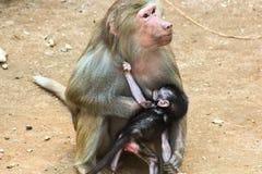 Baboon κατάψυξη πιθήκων στο ζωολογικό κήπο Στοκ εικόνα με δικαίωμα ελεύθερης χρήσης