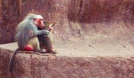 Baboon κατάψυξη πιθήκων στο ζωολογικό κήπο Στοκ Εικόνες