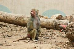 Baboon κατάψυξη πιθήκων στο ζωολογικό κήπο Στοκ Εικόνα