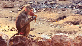 Baboon κατάψυξη πιθήκων στο ζωολογικό κήπο Στοκ εικόνες με δικαίωμα ελεύθερης χρήσης