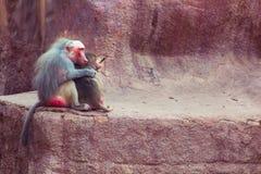 Baboon κατάψυξη πιθήκων στο ζωολογικό κήπο Στοκ Φωτογραφία