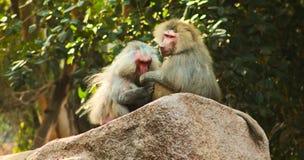 Baboon κατάψυξη πιθήκων στο ζωολογικό κήπο Στοκ φωτογραφίες με δικαίωμα ελεύθερης χρήσης