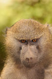 baboon μάτια στοκ εικόνα
