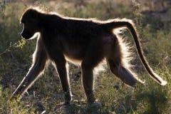 baboon Μποτσουάνα Στοκ Εικόνα