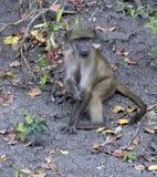 Baboon μωρών, αποσαφήνιση, που κάθεται στο έδαφος στοκ εικόνα με δικαίωμα ελεύθερης χρήσης