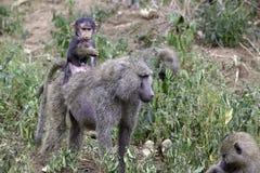 Baboon μωρών που οδηγά στις μητέρες πίσω στοκ φωτογραφία