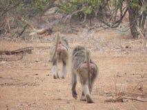 Baboon οπίσθια άγρια φύση φύσης της Αφρικής Στοκ φωτογραφία με δικαίωμα ελεύθερης χρήσης