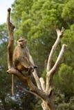 baboon που εγκαθιστά το δέντρο Στοκ εικόνες με δικαίωμα ελεύθερης χρήσης