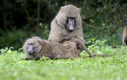 baboon που καλλωπίζει το s Στοκ Φωτογραφία