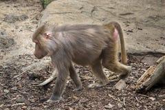 Baboon που περπατά κατά μήκος του εδάφους στοκ εικόνες