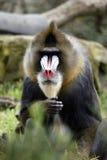 baboon πρόσωπο Στοκ Εικόνα
