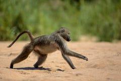 Baboon στο εθνικό πάρκο Kruger Στοκ Εικόνες