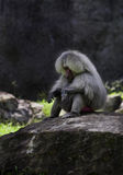 Baboon συνεδρίαση σε έναν βράχο Στοκ Φωτογραφίες
