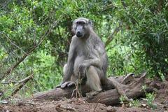 baboon συνεδρίαση Στοκ φωτογραφίες με δικαίωμα ελεύθερης χρήσης