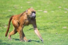 Baboon της Γουινέας Στοκ φωτογραφία με δικαίωμα ελεύθερης χρήσης