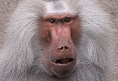 Baboon 01. Close-up view of a male Hamadryas Baboon (Papio hamadryas royalty free stock photography