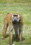 Baboon 1 Stock Images