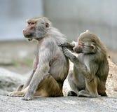 baboon 10 Στοκ Εικόνες