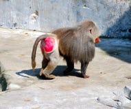 baboon Fotografering för Bildbyråer