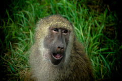 Baboon. A baboon making a funny face Stock Photography