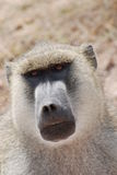 baboon stock photography