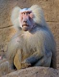 Baboon 13. Portrait of injured baboon male stock images