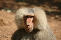 baboon royaltyfria bilder