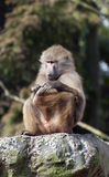 Baboon. A lone baboon scratching his foot royalty free stock photo
