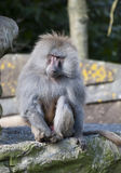 Baboon. A lone baboon sitting on a rock stock photos