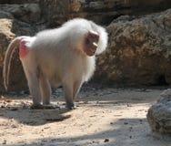 Free Baboon Stock Image - 14199681
