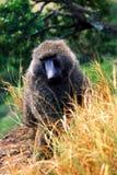 Baboon. Of Nakuro Park - Kenya stock image