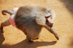 Free Baboon Stock Photos - 16367593