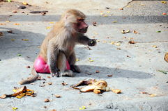 Baboon. A baboon monkey at zoo royalty free stock photos