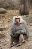 Baboon. Portrait of a male baboon stock photos