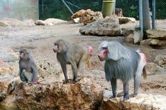 Baboon. Family of baboons (three monkeys stock photos