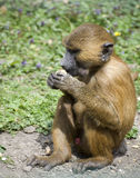 Baboon 2 Stock Images