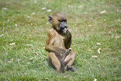 Baboon 2 Royalty Free Stock Photos